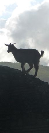 Goat in the hill.